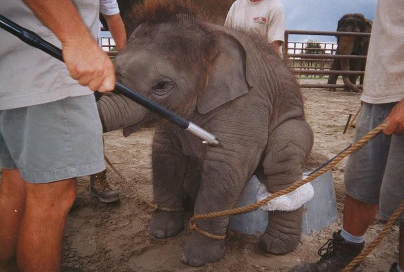 Zoos nos EUA proibidos de usar ganchos de metal para domar elefantes