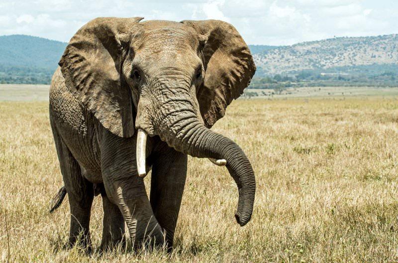 Singapura vai proibir o comércio de marfim de elefante