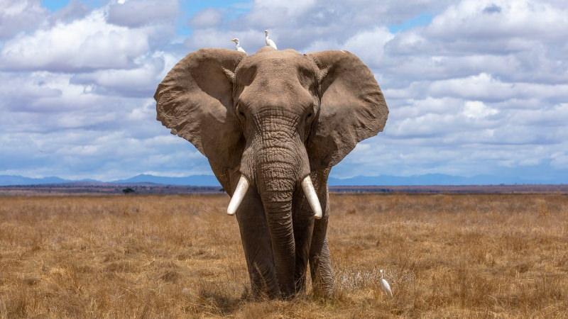 Austrália vai proibir comércio de marfim de elefante e de chifre de rinoceronte