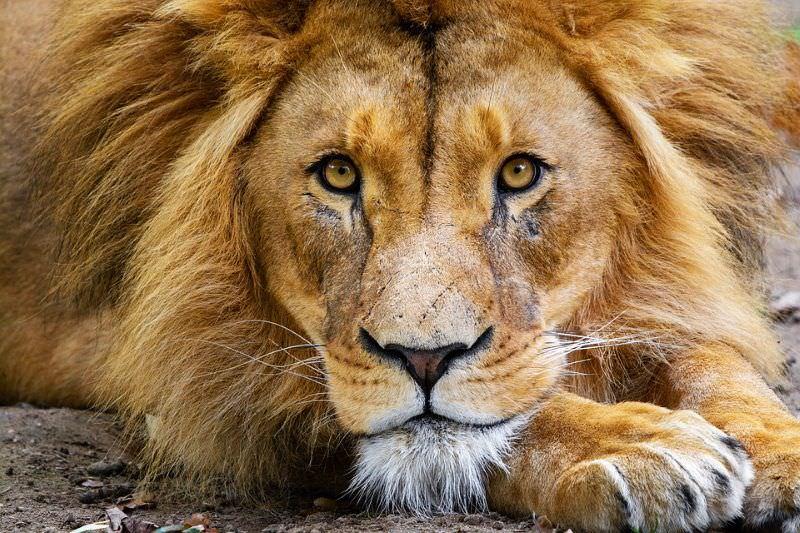 """Tribunal sul-africano declara """"ilegais"""" as quotas de exportação de ossos de leão"""