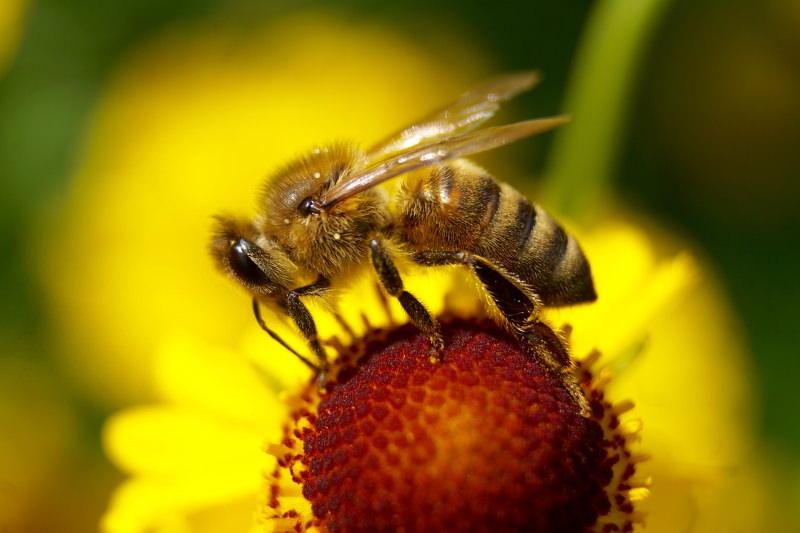 União Europeia vai proibir pesticida da Bayer que prejudica as abelhas