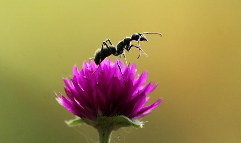 Formigas protegem as plantas de doenças, revela estudo