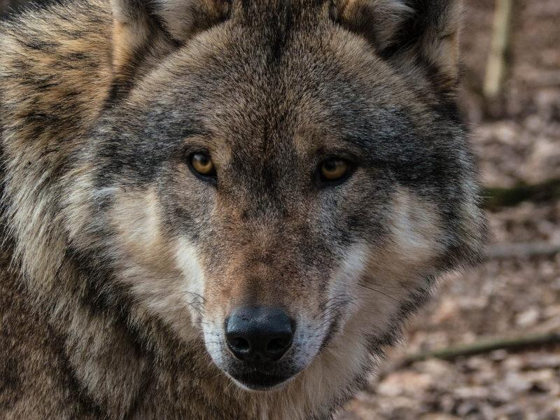 Bélgica: recompensa de 30 mil € para encontrar lobo selvagem