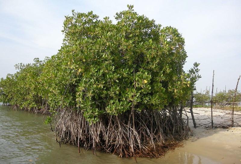 Senegal planta milhões de árvores para restaurar os mangais do país