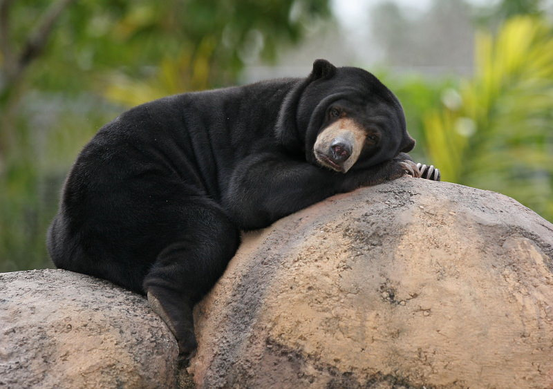 Comércio ilegal de bílis de urso persiste na Malásia, revela estudo da Traffic