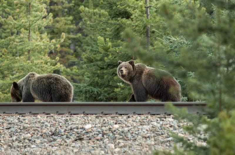 Cientistas criam sistema de alerta para afastar ursos de comboios que se aproximam