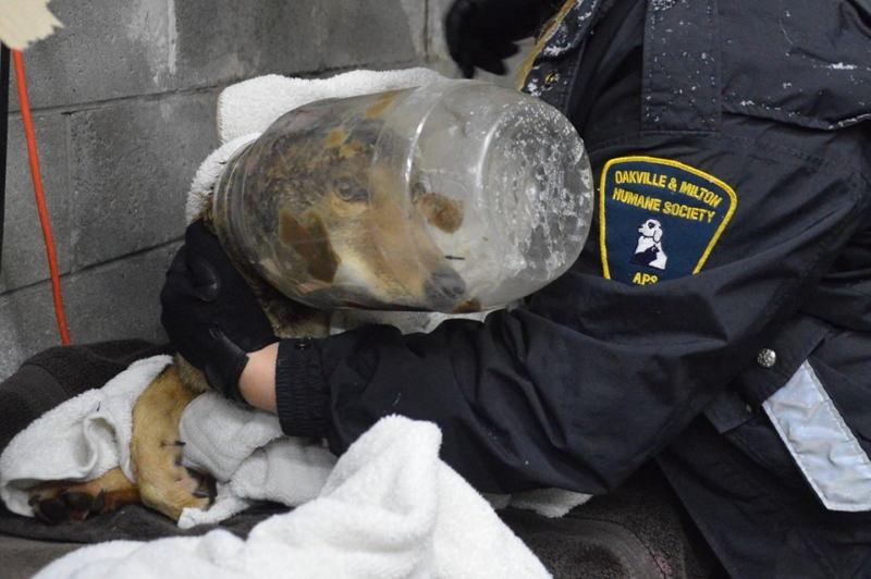 Este coiote quase morreu por causa do lixo que deixamos para trás