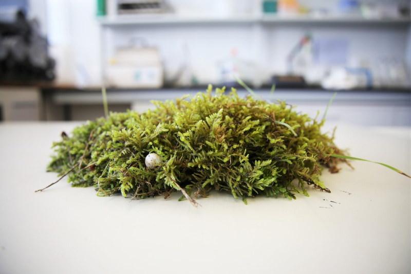 Musgos: descoberto papel essencial na gestão de solos queimados