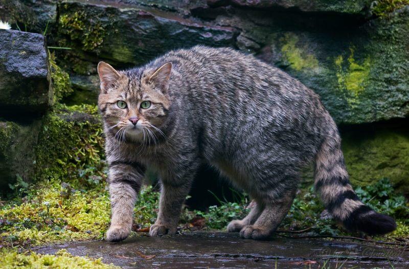 Escócia vai criar e libertar gatos-bravos na natureza para evitar extinção da espécie