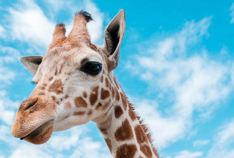 Nova Iorque proíbe venda de produtos de girafa e outras espécies vulneráveis