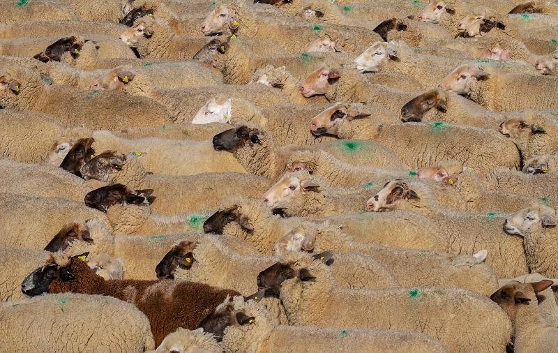 Navio com 14 mil ovelhas naufraga no Mar Negro. 254 foram resgatadas