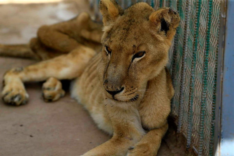 Leões desnutridos e doentes de um zoo no Sudão geram indignação