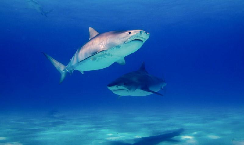 New Jersey proíbe venda e posse de barbatanas de tubarão