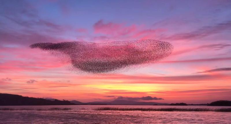 Veja o cativante voo de um bando de estorninhos ao pôr do sol