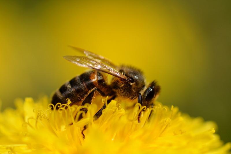 Não corte os dentes-de-leão no seu jardim. As abelhas precisam deles