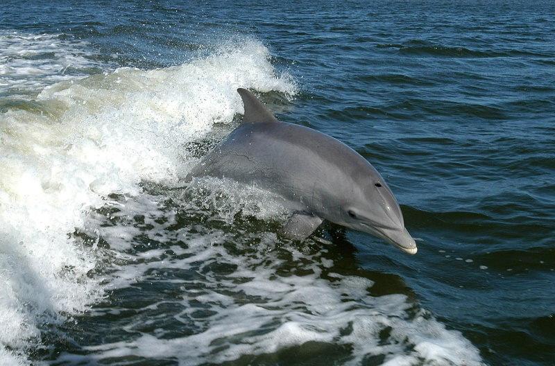 Todos os dias morre um golfinho em Portugal nas redes de pesca acidentalmente