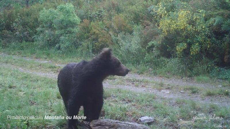 Espanha: foi avistado um urso-pardo na Galiza, 150 anos depois