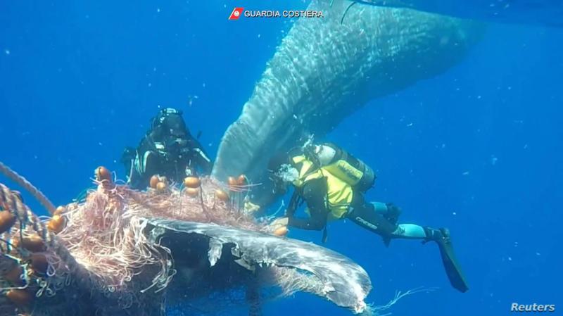 Itália: mergulhadores libertam baleia presa numa rede de pesca