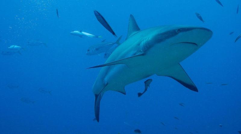 Ecologistas exigem fim do comércio de barbatanas de tubarão na União Europeia
