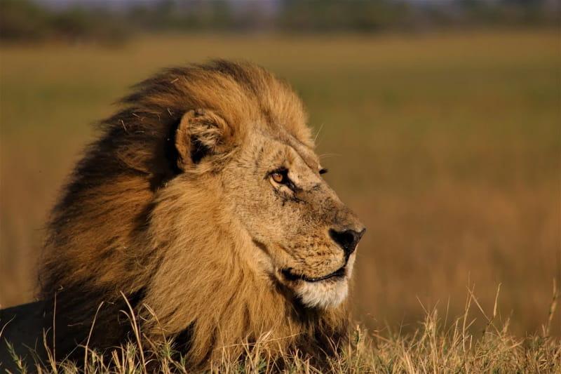 África do Sul planeia proibir criação de leões em cativeiro para caça ou entretenimento